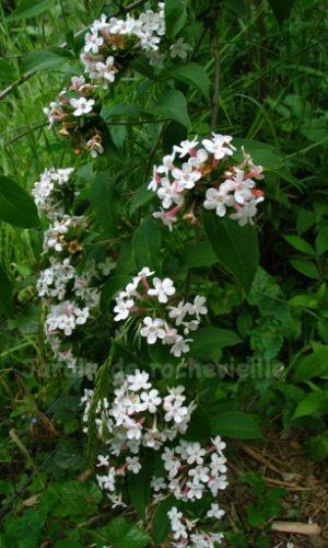photo des fleurs blanches, à revers rose foncé de abelia mosanensis