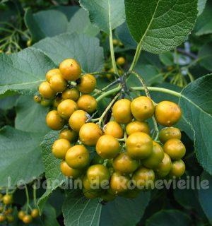photo des fruits ronds, jaunes, comestibles, de Ehretia dicksonii, un petit arbre.