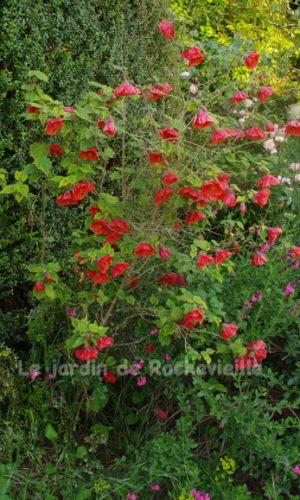 photo de Abutilon 'Fire Ball', hybride horticole très belle floraison rouge
