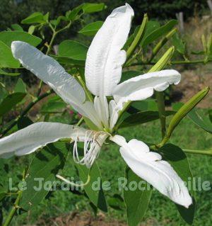 photo d'une fleur blanche du bauhhinia corniculat en été