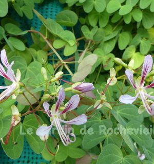 Photo de fleurs du bauhinia yunnanensis, évoquant des gracieuses orchidées blanches, striées de rouge foncé.