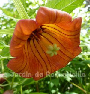 photo d'une fleur de canarina canariensis, grosse clochette orange veinée de rouge.