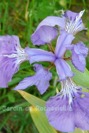 Detail d'une fleur d'iris tectorum, bleu mauve .
