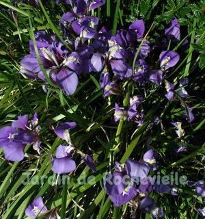 hoto d'une touffe d'Iris unguicularis, l'iris d'Algérie, en pleine floraison, parfumée, bleu-violet foncé.