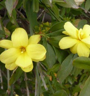 Photo des fleurs jaune canari du jasmin mesnyi