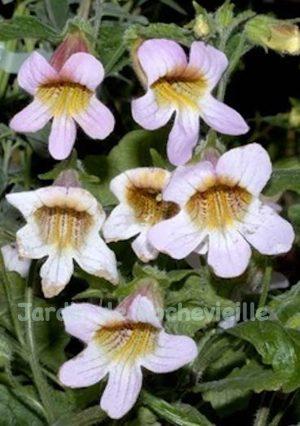 photo des fleurs de rehmannia henryi, une vivace basse à grosses fleurs roses à gorge jaune.