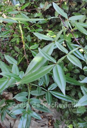 Photo des feuilles très alongées et lancéolées du Zanthoxylum armatum, appelé poivre du Sichouan ou Timut