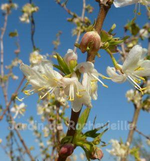 Photo des fleurs du lonicera fragrantissima, en hiver, très parfumées.