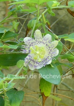 photo de la passiflore tucumanensis, une plante grimpante résistante au froid et de culture facile.