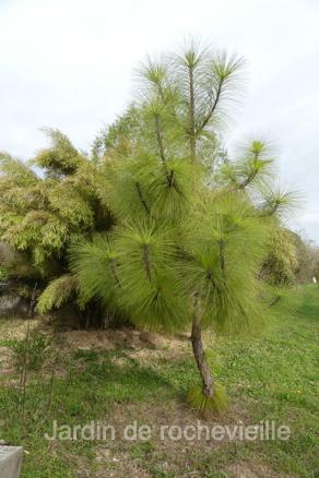 Photo du pinus devoniana, pin mexicain à très longues aiguilles vert brillant.