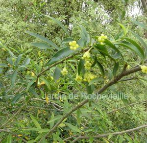 Photo du pittosporum heterophyllum, un arbuste persistant à la floraison jaune très clair parfumée.