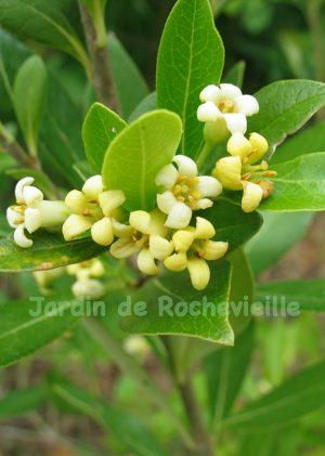 photo des fleurs blanc-crême, parfumée, du pittosporum truncatum.