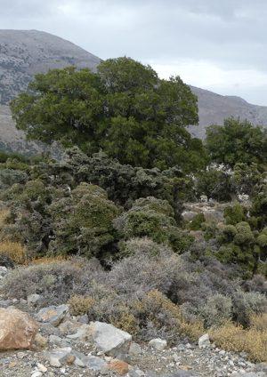 photo d'un chêne coccifera ssp calliprinos