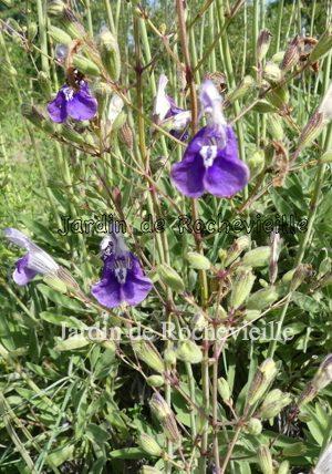 photo de la salvia candelabrum, bleu-violet, fleurissant en masse en mai-juin.