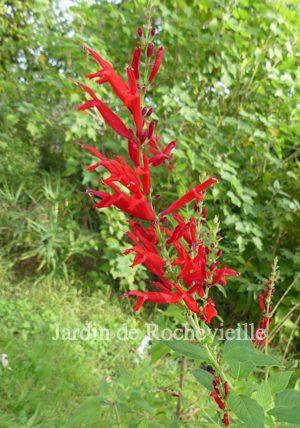 photo d'un épis de fleurs de salvia elegans, rouge vif à odeur d'ananas.
