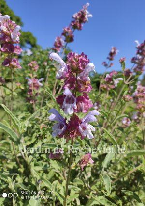 image des fleurs de la salvia pomifera, une sauge originaire de Crête, très adaptée à la sécheresse.