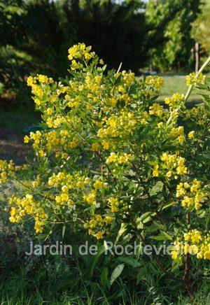 photo du senna corymbosa, un arbuste argentin à floraison jaune de longue durée.