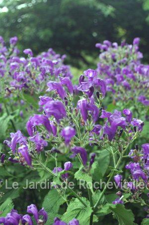 photo de Strobilanthes atropurpureus, une plante vivace à floraison bleu-violet