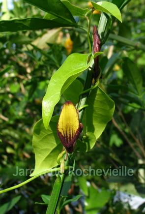 photo de aristolochia sempervirens, une plante grimpante mediterranéenne