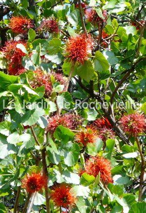 photo des fleurs rouges du greyia sutherlandii, à longues étamines et d'allure exotique.