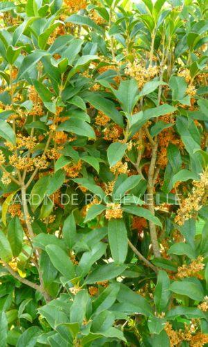 Osmanthus fragrans 'Auriantiacum' est le plus parfumé des osmanthus.