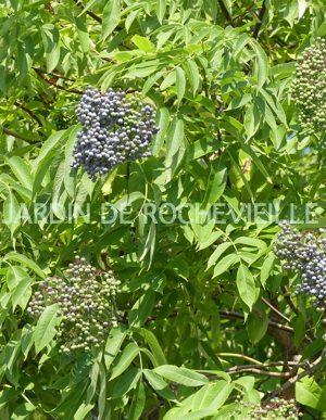 photo des fruits bleutés du sambucus caerulea