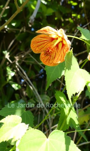 image de Abutilon striatum, fleurs oranges striées de rouge.