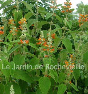 Photo d'un colquhounia coccinea var. mollis possède un beau feuillage gris-vert et des fleurs oranges vif.