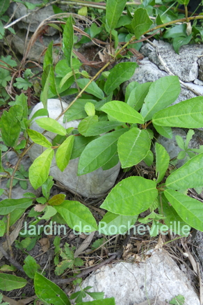 photo du ficus tikoua, au feuillage vert persistant.
